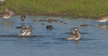 Curlew Wading Wetland Birds Bathing Shallow Water Splash Slow Motion