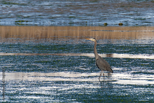 Photo A great blue heron searches for food in tidal shallows