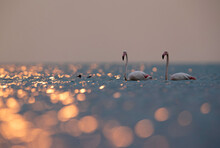 Greater Flamingos With Dramatic Bokeh Of Light Reflection On Water, Asker Coast, Bahrain