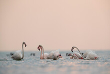 Greater Flamingos Fighting At ...