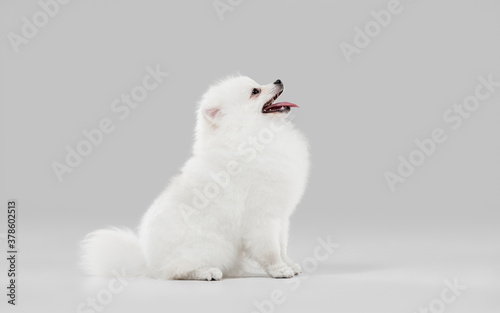 Fototapeta Like a clouds. Spitz little dog is posing. Cute playful white doggy or pet playing on grey studio background. Concept of motion, action, movement, pets love. Looks happy, delighted, funny. obraz