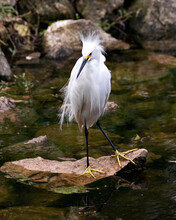 Snowy Egret Stock Photos. Close-up Profile View Standing On Moss Rocks With Foliage Background, Displaying White Feathers, Beak, Fluffy Plumage, In Its Environment And Habitat. Image. Portrait.