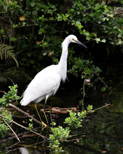 Snowy Egret  Stock Photos. Image. Portrait. Picture. Beautiful White Fluffy Feathers Plumage. Standing In Water. Foliage Background And Foreground. White Colour.