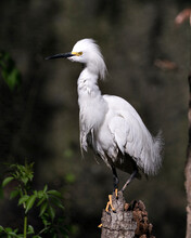Snowy Egret Stock Photos.  Close-up Profile View Perched On A Stump With A Blur Background In Its Environment And Surrounding. Picture. Image. Portrait.