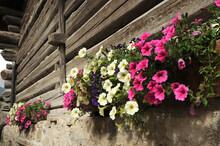 Colored Petunia Flowers In Val Di Fassa, Dolomites, Italy.