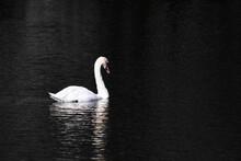 White Swan In Dark Water