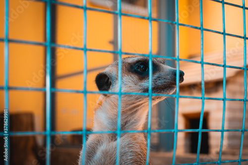 Fotomural A lone meerkat trapped in a cage in a zoo