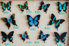 Collection Of Dried Insects, Butterflies Under Glass