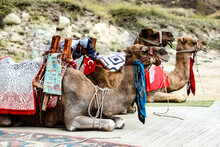 Camels Resting On The Sidewalk