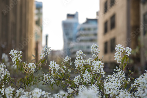 Tela White Flowers blossoming with city buildings in background