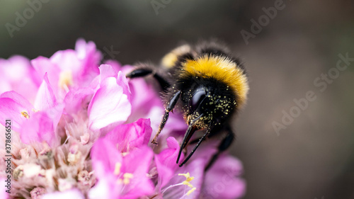Fotografija A Bumble Bee searching for pollen on a Sea Thrift