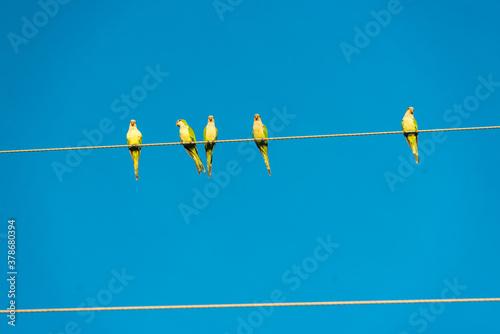 Birds on the power grid in the wetland in Pocone, Mato Grosso, Brazil on June 14, 2015 Slika na platnu