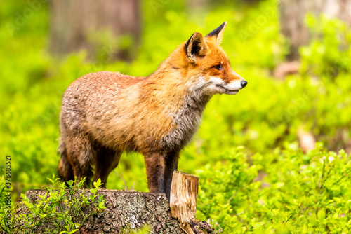 Cute Red Fox, Vulpes vulpes in fall forest Canvas-taulu