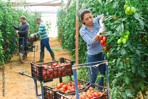 Multinational team of gardeners harvesting tomatoes at vegetable farm, seasonal Fototapet
