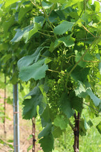 Young Small Bunch Of Grapes Growing On Vine Branch On A Sunny Day
