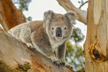 A Cute, Cuddly Koala Looking From A Large Branch Of A Native Gum Tree. This Arboreal Australian Marsupial Has Thick Grey Fur And Feeds On Eucalyptus Leaves. It Looks Bear-like, But Is Not A Bear.