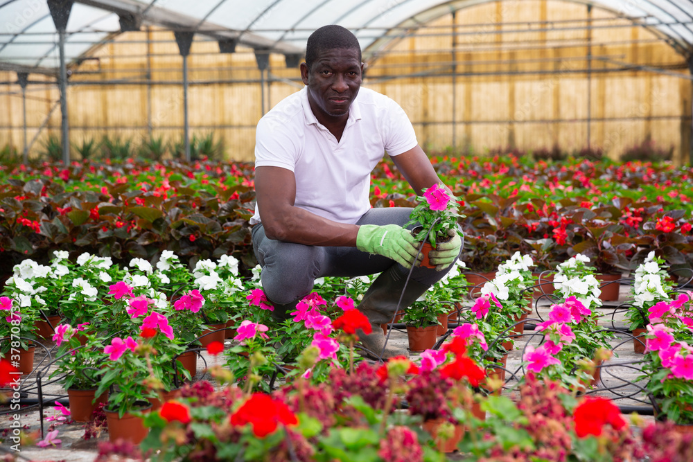 Fototapeta Portrait of skilled african american florist engaged in cultivation of plants of Catharanthus roseus in greenhouse