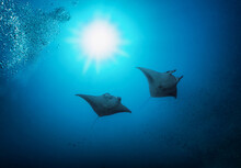Two Manta Rays In The Deep, Bl...