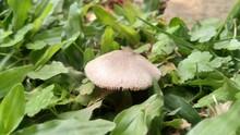 Wild Mushroom Growing On Grass Close Up