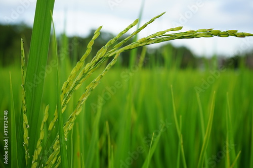 photography of green rice trees and cornfield, blurred mountain sky background Fototapete