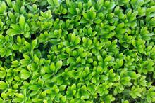 Green Leaf Background. Juicy Y...