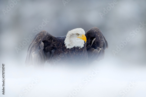 Fotomural Bald Eagle, Haliaeetus leucocephalus, flying brown bird of prey with white head, yellow bill, symbol of freedom of the United States of America