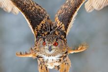 Detail Close-up Owl Fly. Big O...