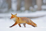 Fototapeta Zwierzęta - Winter nature. Red fox in white snow. Cold winter with orange fur fox. Hunting animal in the snowy meadow, Japan. Beautiful orange coat animal nature. Wildlife Europe.