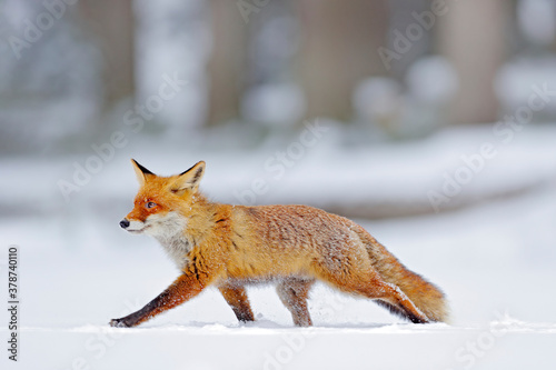 Winter nature. Red fox in white snow. Cold winter with orange fur fox. Hunting animal in the snowy meadow, Japan. Beautiful orange coat animal nature. Wildlife Europe.