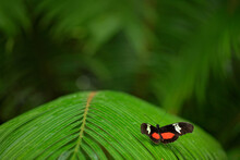 Butterfly Heliconius Hacale Zu...