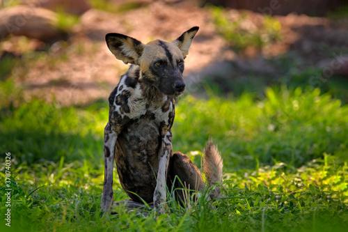 African wild dog, walking in the green grass, Mana Pools, Zimbabwe, Africa Tapéta, Fotótapéta