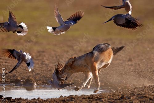 Fényképezés Jackal hunting birds near the waterhole, Polentswa, Botswana in Africa