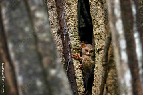 Fototapeta Spectral Tarsier, Tarsius spectrum, portrait of rare nocturnal animal, in the nature habitat, large ficus tree, Tangkoko National Park, Sulawesi, Indonesia, Asia. Wildlife scene from nature. obraz