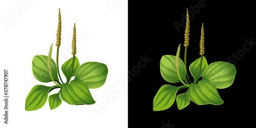 Plantain isolated Canvas-taulu