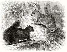 Black And Grey Squirrels On Natural Environment. Trunk And Vegetation. Ancient Engraving Grey Tone Art By Unidentified Author, The Penny Magazine, London 1837