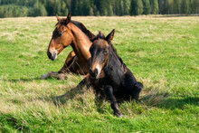 Horses Resting In The Meadow O...
