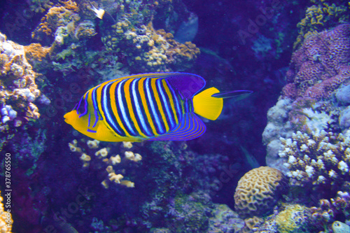 Fototapety, obrazy: Beautiful Colorful Fish Swimming In The Red Sea In Egypt. Blue Water, Hurghada, Sharm El Sheikh,Animal, Scuba Diving, Ocean, Under The Sea, Underwater Photography, Snorkeling, Tropical Paradise.