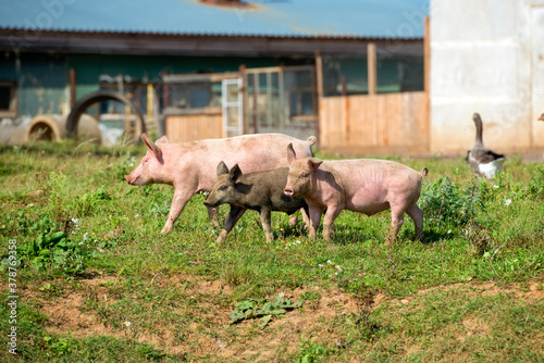 Photo Little piglets on a livestock farm on a summer day