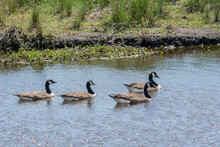 Four Canadian Geese Swimming From Left To Right On A Waterway In A Preserve In N C. A Beautiful Horizonal Photograph With Blue Water With The Geese About 1/3 Up From Bottom Green Grass Background