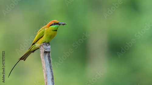 Green Bee-Eater perching on bamboo stick with an insect in its beak Canvas Print