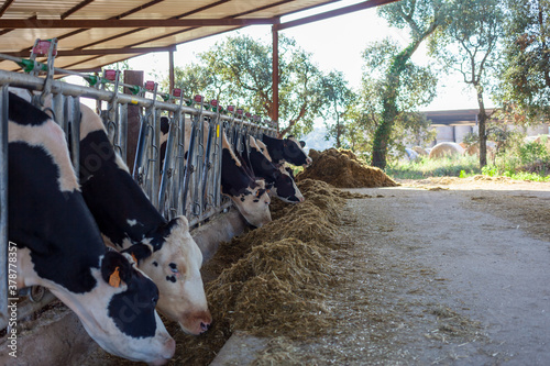Photo The cows on the farm eat the prepared feed.