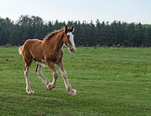 Foal Playing On The Meadow