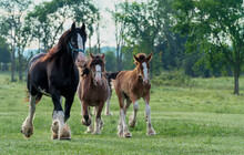 Horses Running On The Pasture