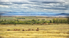 Cattle Country Montana,photo Art