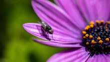 A Fly Resting On A Large Purple Flower