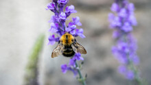 A Bee Collecting Pollen From A...