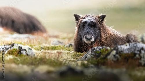 Photo musk ox calf