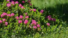 Cespuglio Di Rododendro Fiorit...