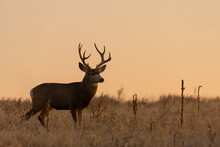 Mule Deer Silhouetted At Sunrs...