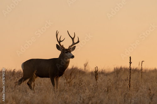 Mule Deer Silhouetted at Sunrsie During the Fall Rut Canvas-taulu